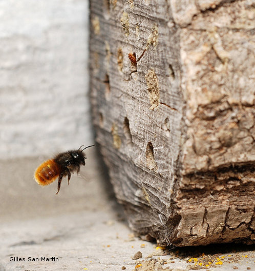 Osmia cornuta and artificial bee nest by Gilles San Martin